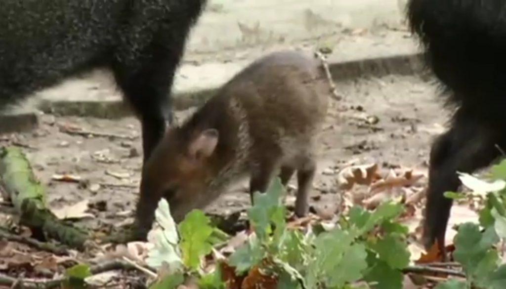 Neugeborenes Pekari im Tierpark Nordhorn