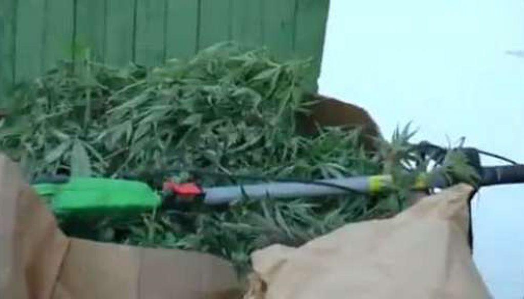 Marihuanaplantage ausgehoben