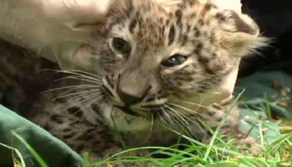 Lautes Gebrüll beim Leopardennachwuchs - Wer will schon freiwillig geimpft werden?
