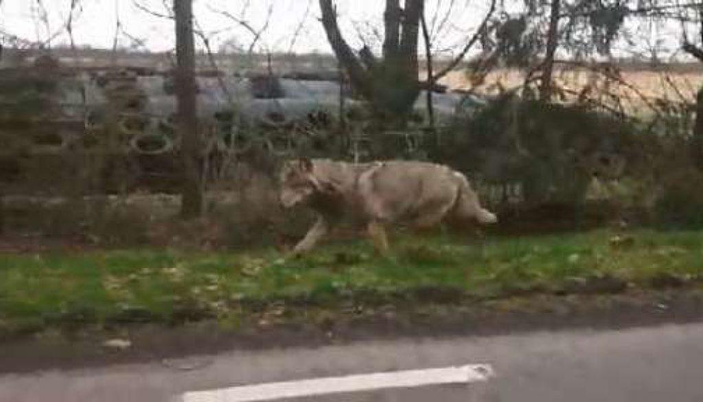 Wolf bei Herzlake gefilmt