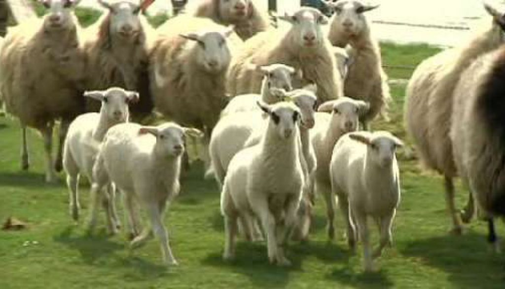 Tierpark Nordhorn - Traditioneller Schafaufrieb