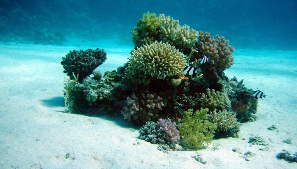 symbol_koralle